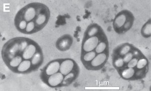 Bacteria-wolfesimon3HR-300x181